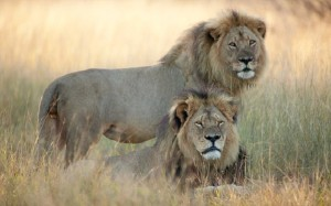 Broken hearts for Cecil the lion