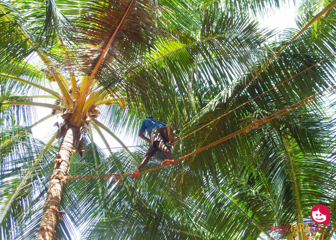 Coconut toddy tapping