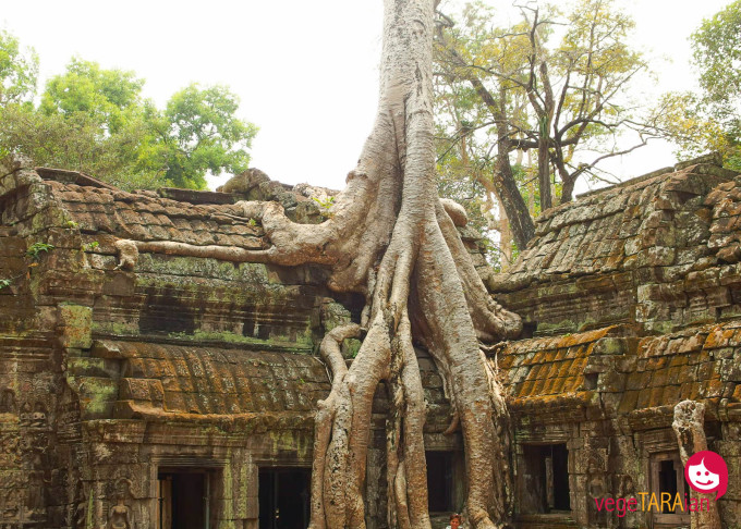Ta Prohm tree roots