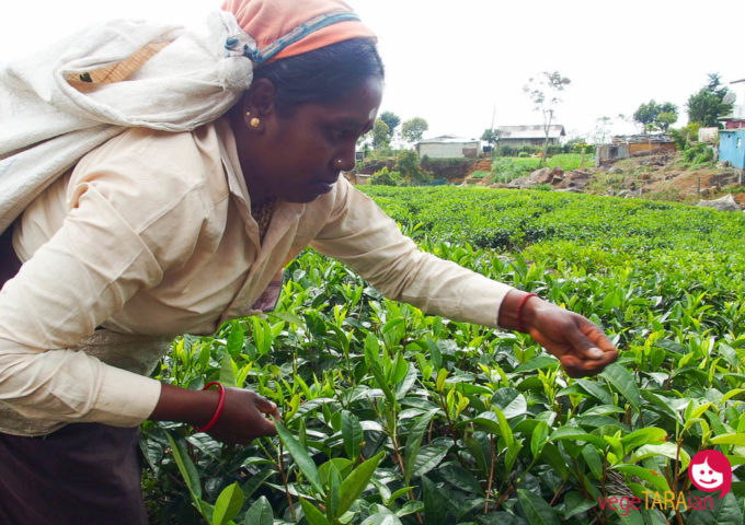 Tea pickers in Haputale and learning how tea is made