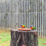 Rosellas at bird feeder