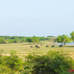 Water buffalo Yala National Park