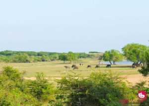 A jeep safari at Yala National Park