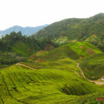 Tea plantations, Cameron Highlands