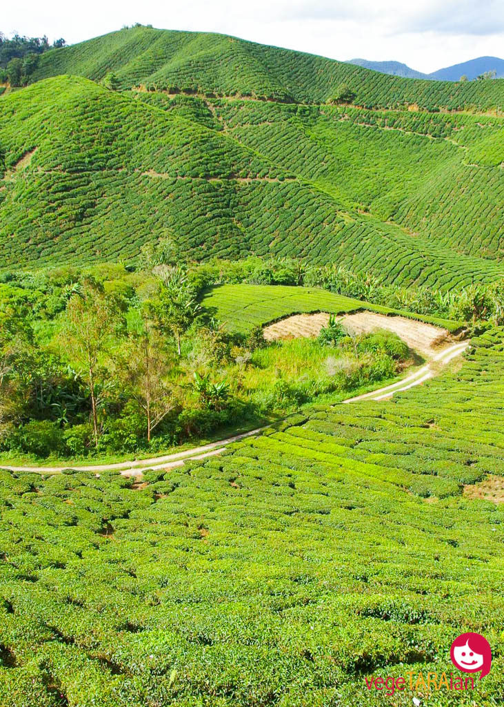 Lush green tea plantations in the Cameron Highlands, Malaysia